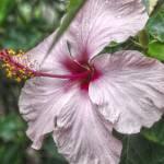 """Hibiscus Flowe"" by DanielLarsen"