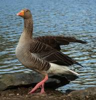 Goose Stepping
