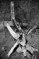 Natures Wood Sculpture bw