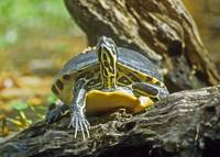 Slider Turtle Animal