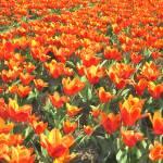 """Orange Tulips from Holland"" by BillKret"