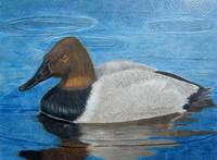 Canvasback Duck
