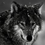 """Wolf"" by SamSmith"