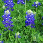 """Bluebonnets"" by AnimalsbyDiDi"