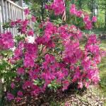 """""""Springtime Azaleas"""" by PhotosbyNeal"""