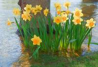 Large Cupped Daffodil Narcissus