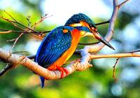 Japanese Kingfisher II