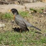 """Robin"" by cameragal"