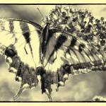 """BUTTERFLY DREAMS 3"" by shaynaphotography"
