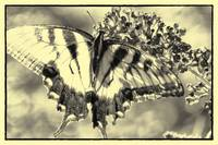 BUTTERFLY DREAMS 3