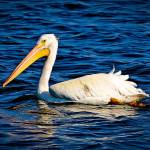 """White Pelican at Ft. Desoto, FL"" by kellyfla2003"