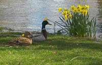 Pair of Mallards with Daffodil