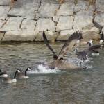 """""""Goose fight"""" by cameragal"""