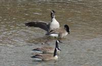 Geese playing and showing off