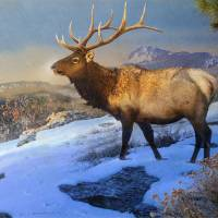 """sunset on the ridge -  bull elk"" by rchristophervest"