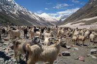 Sheep and Goats in Lahaul Valley