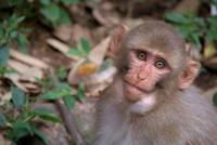 Young Rhesus Macaque with Food in Cheeks