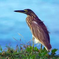 Pond Heron on Grass Varkala