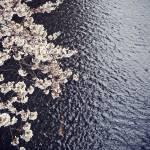 """""""Sakura"""" by keithtsuji"""