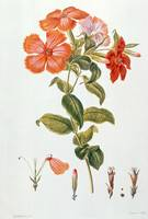 Lychnis Coronaria by Leopold Trattinick