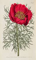 Peony: Paeonia Tennifolia by William Curtis