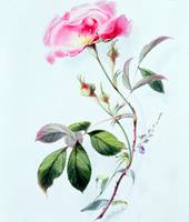 A Rose by James Holland