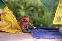 Baby Monkey Playing on Prayer Flags Swayambhu Step