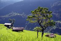 Bright Green Rice Field Nepal