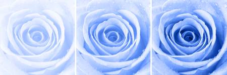 Blue Rose with Water Droplets Triptych