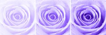 Purple Rose with Water Droplets Triptych