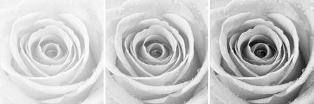 Silver Rose with Water Droplets Triptych