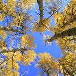 """Aspens Skyward"" by JohnDaly"