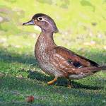 """Wood Duck (female)"" by shelshots"