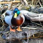 """Mallard Duck"" by LJdesigns"