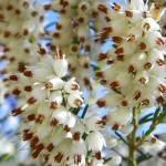 """""""Mediterranean White Heather"""" by vpicks"""