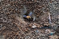 Bee In Anthill