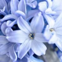 Springtime Hyacinth One Art Prints & Posters by Frances Catherine