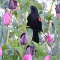 Red Wing Blackbird. Art Prints & Posters by Nick Wangke
