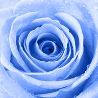 Blue Rose with Water Droplets