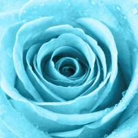 Turquoise Rose with Water Droplets