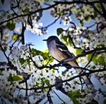 Bird in Cherry Blossom Tree by micspics444