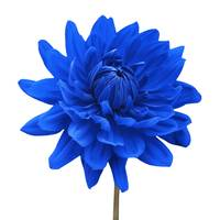 Blue Dahlia Flower White Background