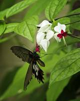 Bleeding Heart & Butterfly