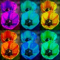 Colorful Tulip Collage