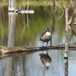"""""""Canada Goose"""" by StonePhotos"""