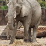 """Female Elephant"" by StonePhotos"