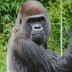 """Gorilla Portrait"" by StonePhotos"