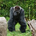"""Gorilla Full Front"" by StonePhotos"