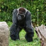 """Gorilla Full Front"" by StonePhotos"