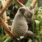 """""""Single Koala"""" by StonePhotos"""
